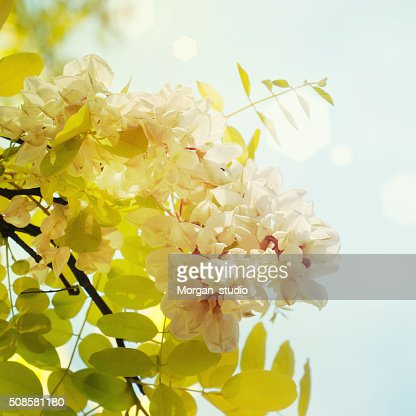 Blooming acacia : Stock Photo