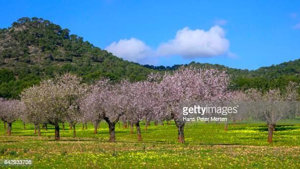 Blooming almond trees near Santanyi, Majorca, Balearic Islands, Spain