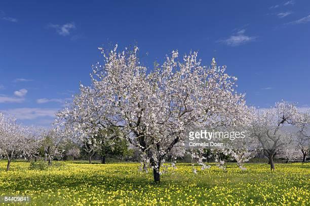 Blooming almond trees (Prunus triloba)