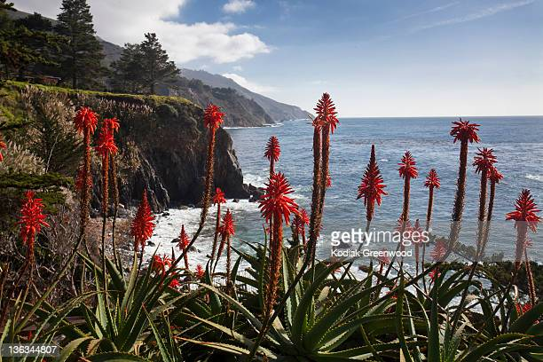 Blooming Aloe Vera Plants on the Big Sur Coast.