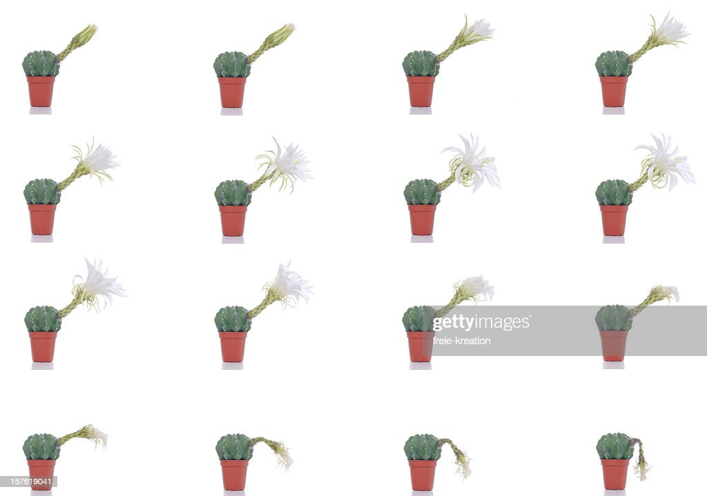 Blooming And Wilting Cactus Blossom Timelapse : Stock Photo