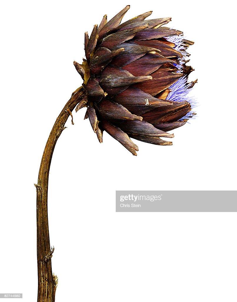 Blooming Avocado Flower : Stock Photo