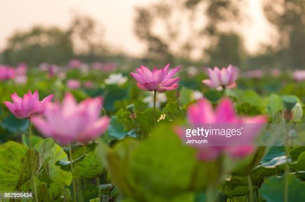 Blooming beautiful pink lotus flower in sunrise