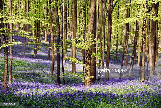 Desabrochando bluebells e árvores de faia Hallerbos, Bruxelas, Bélgica