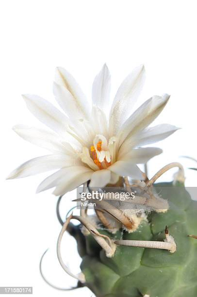 Blooming cactus on white background