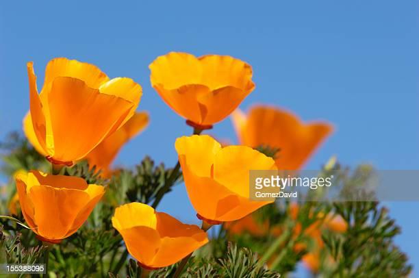 Blooming California Poopy wildflowers