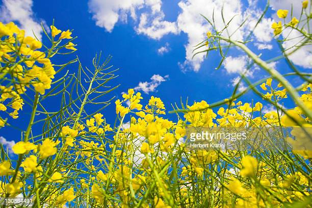 Blooming canola field, close-up, Burgenland, Austria, Europe