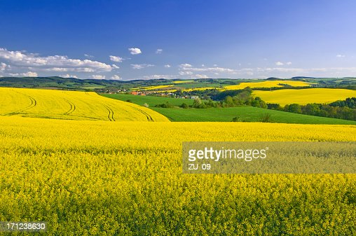 Blooming canola fields in spring