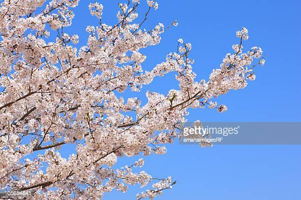 Blooming Cherry Blossom and Blue Sky