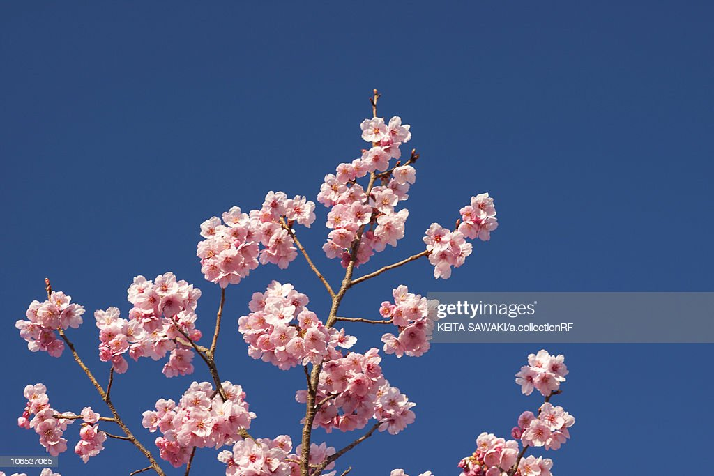 Blooming Cherry Blossom Under Blue Sky