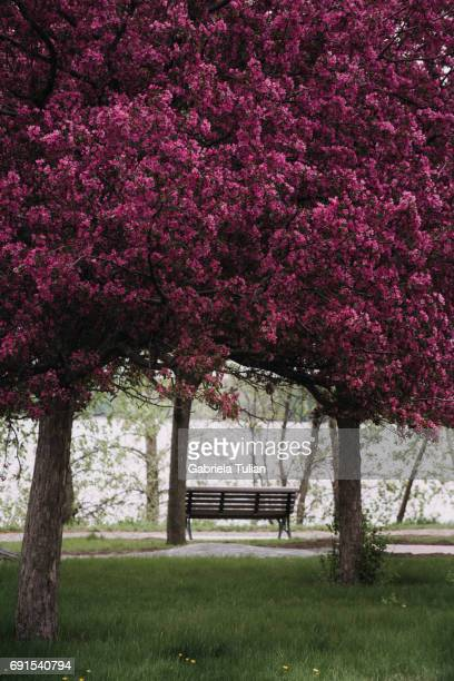 Blooming Cherry Blossoms in the park of Montreal with copyspace