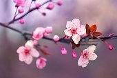Blossom, Cherry Blossom, Flower, Flowerbed, Plant