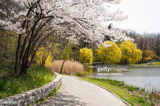 Blooming Cherry Tree On The Corner