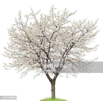 Blooming Cherry Tree On White