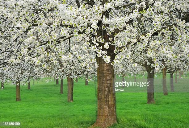 Blooming cherry trees in Haspengouw,Flanders,Belgium