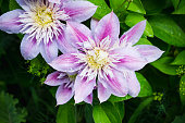"Blooming clematis ""Josephine"" in the garden. Shallow depth of field."