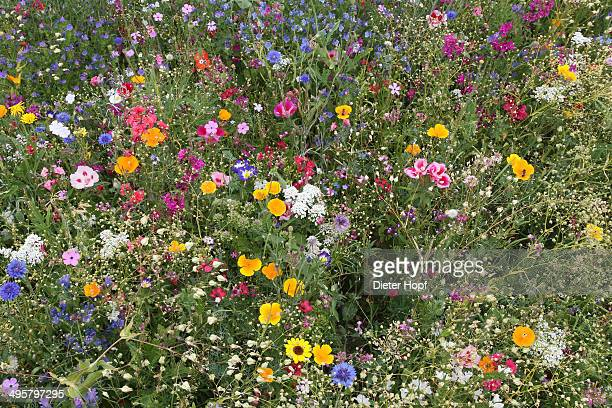 Blooming colourful flower meadow, garden sowing, Allgau, Bavaria, Germany