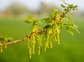 blooming common oak in springtime