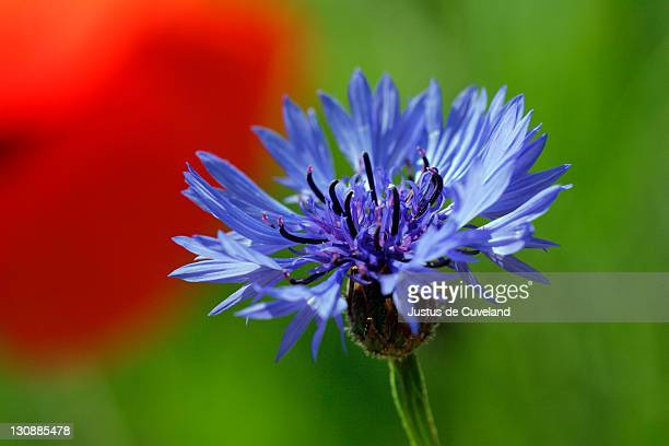 Blooming cornflower (Centaurea cyanus) in front of corn poppy (Papaver rhoeas)