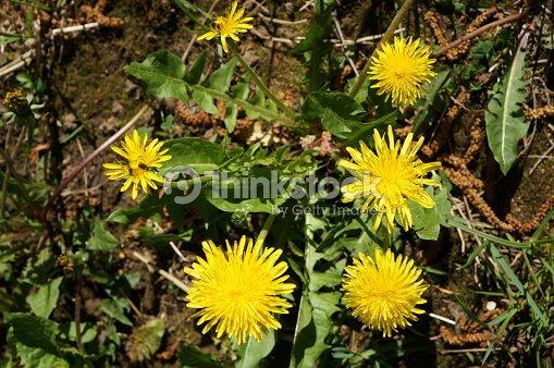 Flor Diente De Leon Flores Amarillas De La Planta Medicinal En