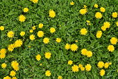 A lot of blooming dandelion flowers in green grass. Directly above shot. Nature background.
