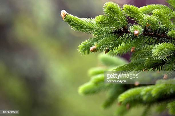 Blooming fir tree