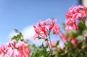 blooming geranium in front of blue sky
