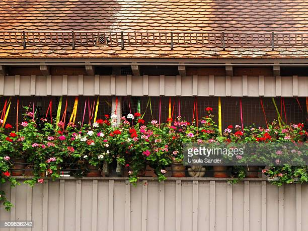 Blooming Geranium Pelargonium on balcony, Ulm, Baden-Wuerttemberg, Germany