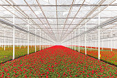 Blooming red geranium plants in a Dutch greenhouse