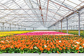 Blooming colorful geranium plants in a Dutch greenhouse
