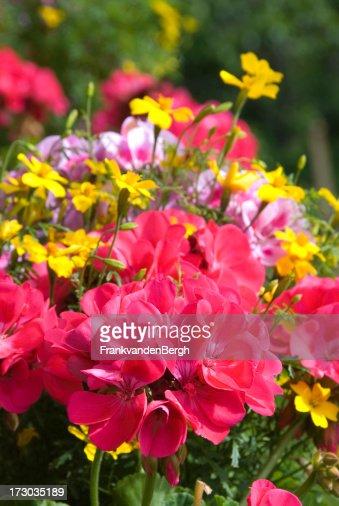 Blooming geraniums