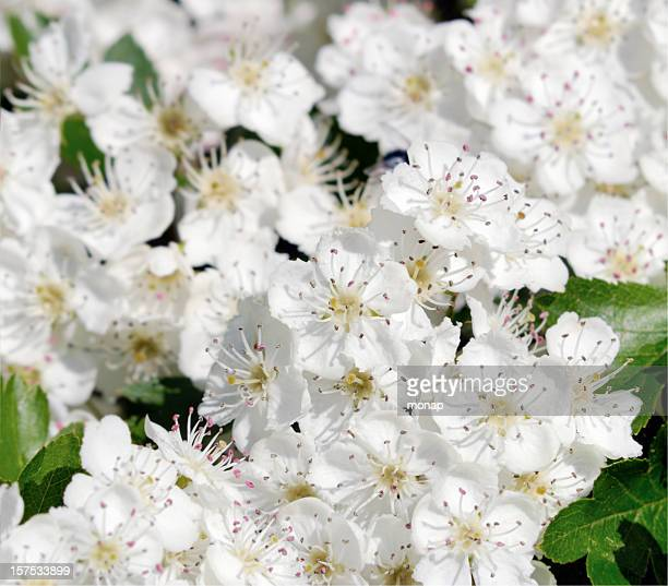 Éclosion d'une fleur d'aubépine