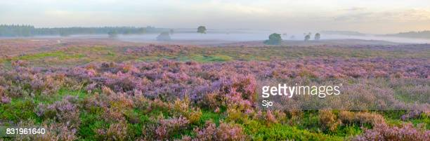 Blooming Heather plants in Heathland landscape during sunrise in summer