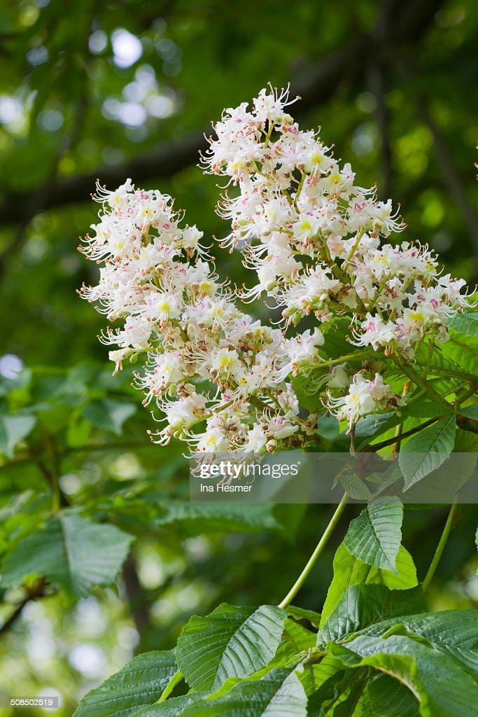 Blooming Horse-chestnut -Aesculus hippocastanum-