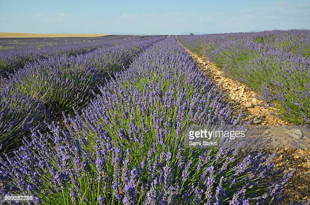 Blooming Lavender flowers in a field on the Plateau de Valensole, Provence, France, Europe