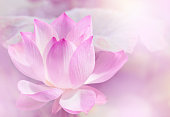 Blooming lotus flower background.