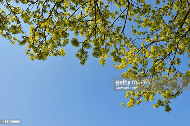Blooming Maple Tree in Spring