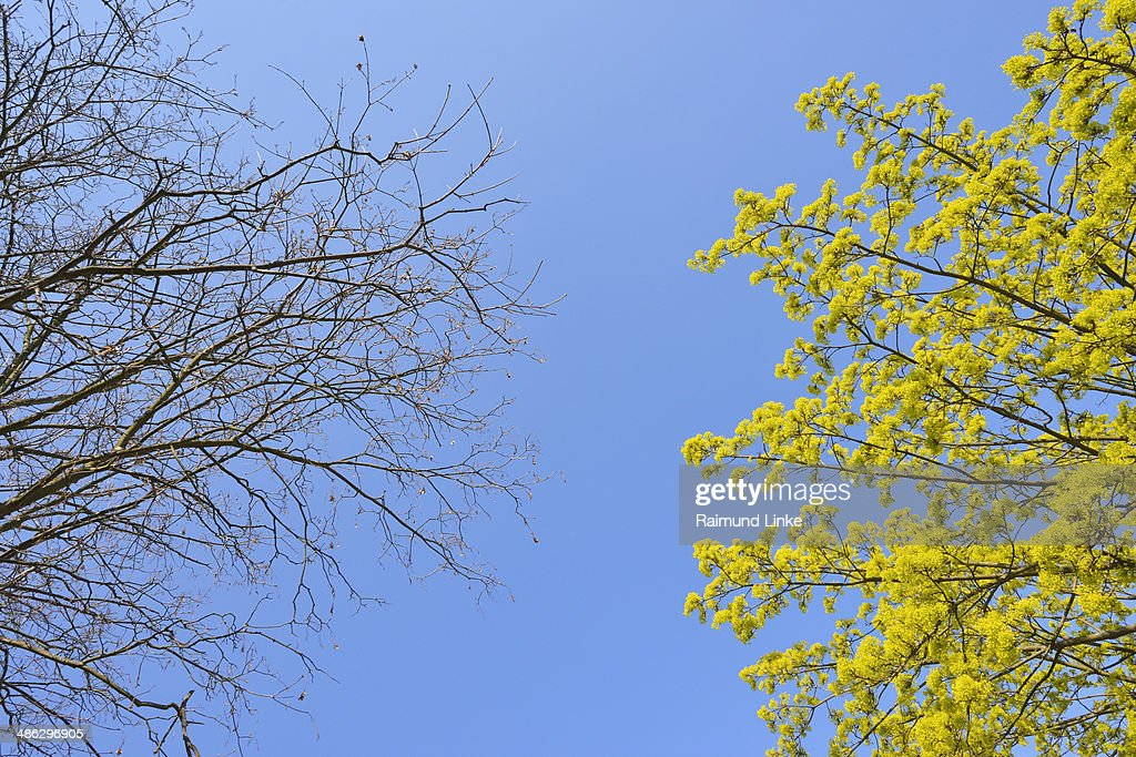 Blooming Maple Tree in Spring : Stock Photo