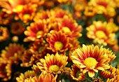 Blooming orange yellow Chrysanthemum flowers