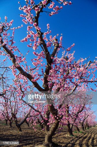 Blooming Peach Trees, Littlerock, CA : Stock Photo