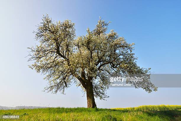 Blooming Pear Tree in the Spring