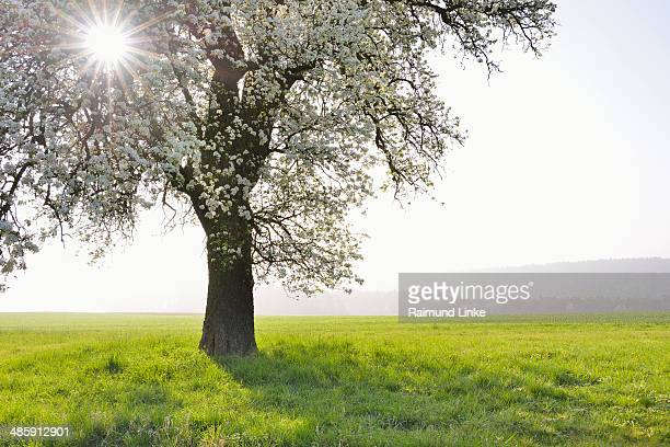 Blooming Pear Tree with Sun