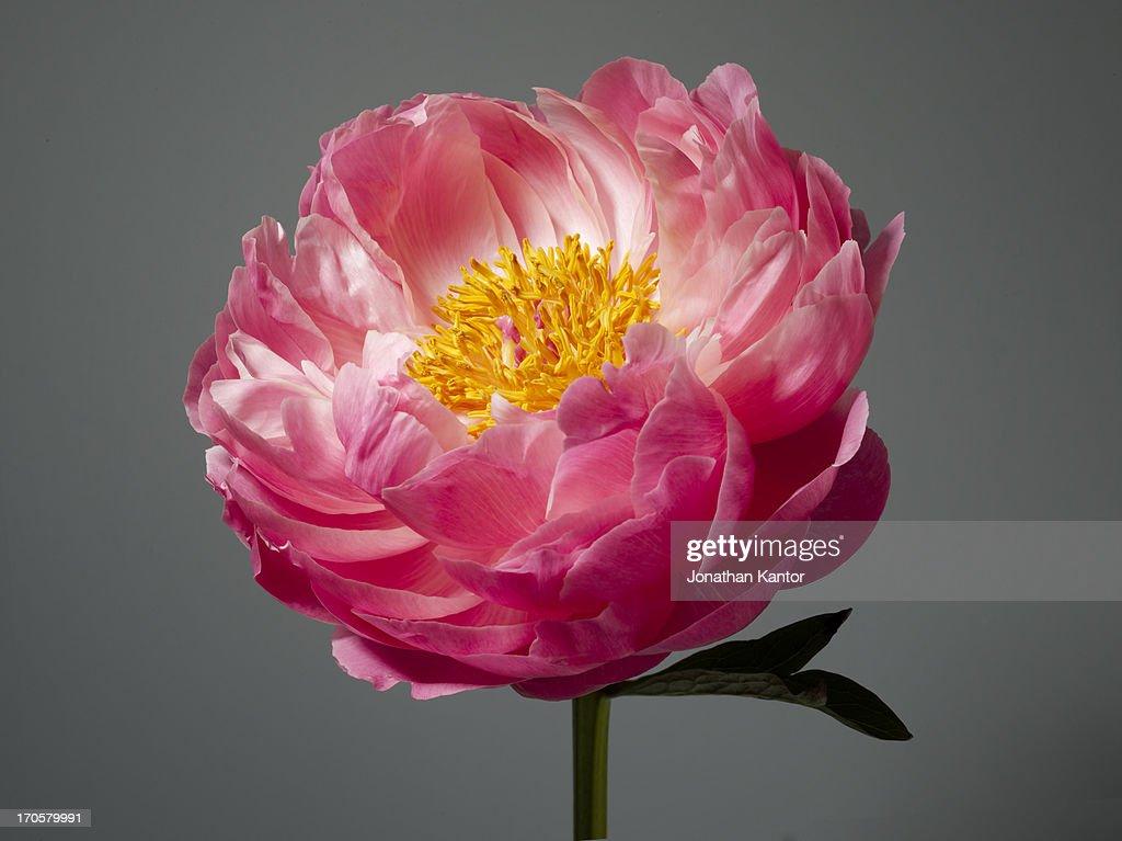 Blooming Peony : Stock Photo