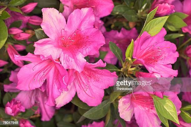 Blooming pink azaleas