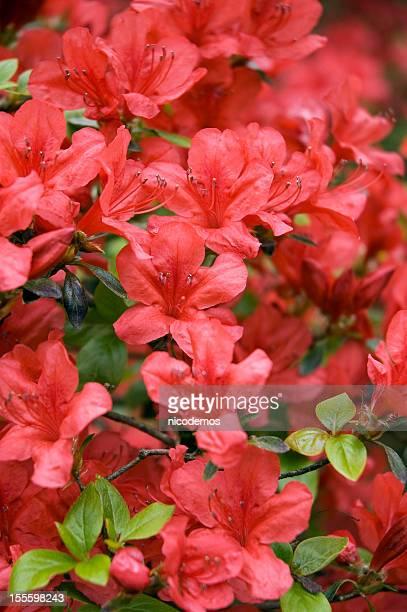 Blooming Red Japanese Azalea.