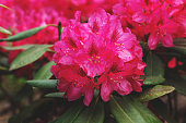 Beautiful rhododendron flower in full bloom. Floral Blurred Background