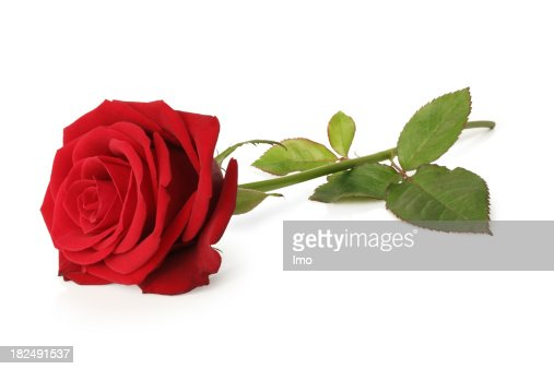 Blooming red rose and stem isolated on a white background