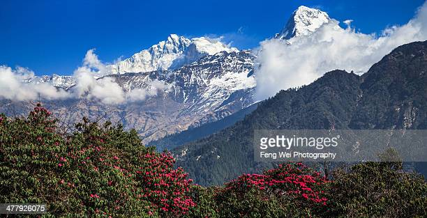 Blooming Rhododendron, Annapurna, Nepal