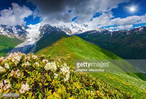 Florecer rhododendrons en la pradera de montaña : Foto de stock