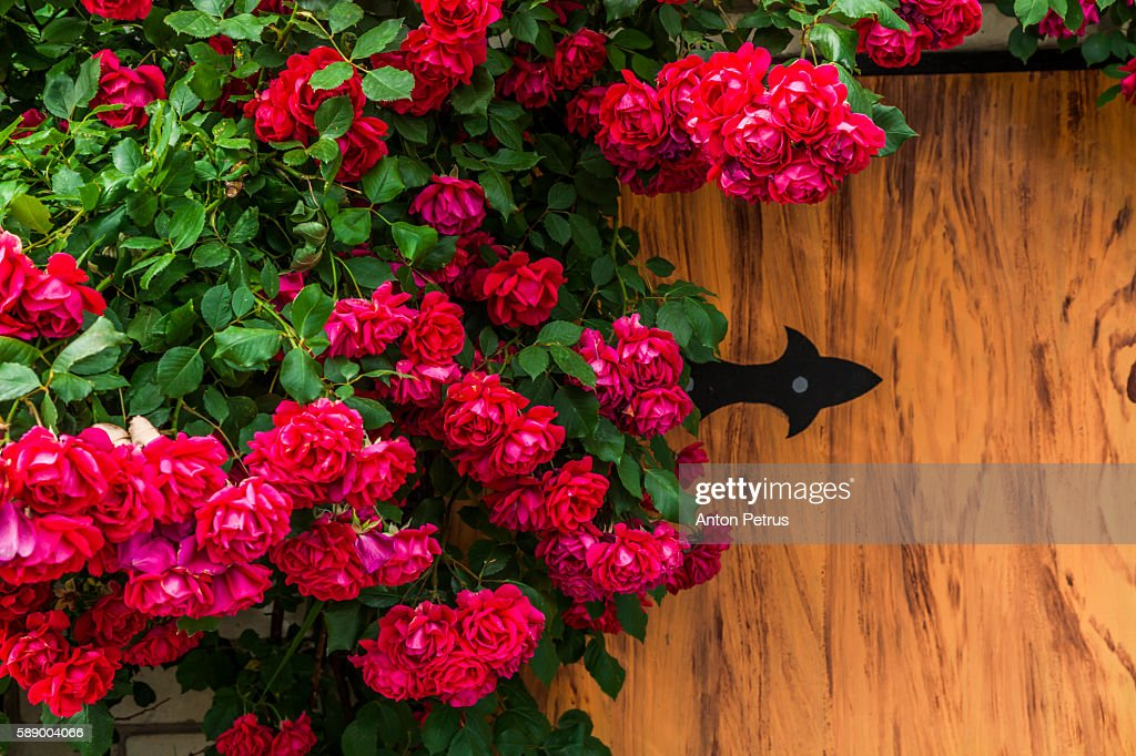 Blooming roses on a wooden background